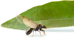 Winged ant worker with green leaf Stock Photography