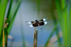 Winged Beauty. Dragonfly landing on a reed in its natural aquatic habitat Stock Photo