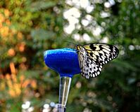 Winged Beauty Stock Photography