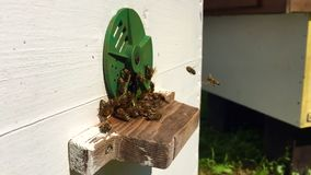 Winged bee slowly flies to beehive collect nectar on private apiary from live flowers. stock video footage