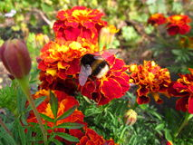 Winged Bumblebee Stock Photos