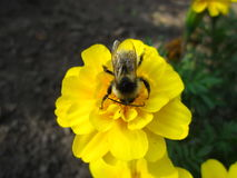 Winged Bumblebee Royalty Free Stock Images