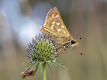 Winged Butterfly Royalty Free Stock Photos