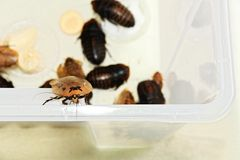 Winged cockroaches Royalty Free Stock Photography