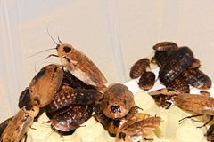 Winged cockroaches Stock Images