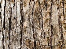 Winged Elm Tree Bark in the shade. The bark of a winged elm tree in the shade royalty free stock images