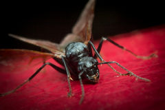 Winged Flying Ant Royalty Free Stock Photography