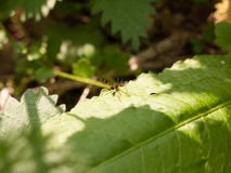 A winged flying insect large macro resting upon a forest leaf Royalty Free Stock Photo