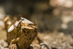 Winged individuals of termite Royalty Free Stock Photography