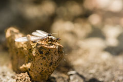 Winged individuals of termite Royalty Free Stock Photo