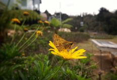 Brown moth butterfly perched over a bright daisy yellow flower stock image
