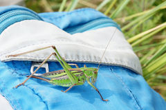 Winged longhorned grasshopper. A green winged longhorned grasshopper on blue backpack Stock Images