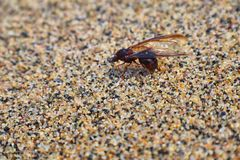 Winged Male Drone Leafcutter ants, macro close up view, dying on beach after mating flight with queen in Puerto Vallarta Mexico. S. Cientific name Atta mexicana Royalty Free Stock Images