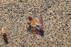 Winged Male Drone Leafcutter ants, macro close up view, dying on beach after mating flight with queen in Puerto Vallarta Mexico. S. Cientific name Atta mexicana Stock Images