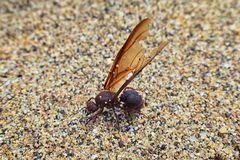 Winged Male Drone Leafcutter ants, macro close up view, dying on beach after mating flight with queen in Puerto Vallarta Mexico. S royalty free stock photos