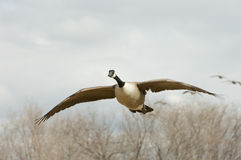 Winged Migration. A Canada Goose in flight prepares to land in a safe wintering spot along the Rio Grande River in Central New Mexico stock image