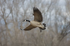 Winged Migration. A Canada Goose drop the landing gear and lowers the flaps preparing to set down in a wildlife sanctuary along the Rio Grande River in Central stock photo