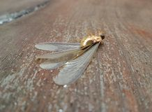 Winged reproductive termites (swarmers) on wet wooden floor Royalty Free Stock Photo