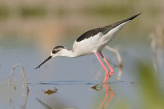 Winged Stilt Stock Image