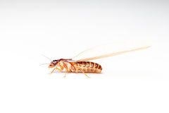 Winged Termites. Come in the evening after rainfall emerge royalty free stock image