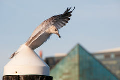Winging It. Seagul flapping wings in the Inner Harbor of Baltimore Stock Image