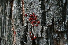 Wingless insectenpyrrhocoridae Royalty-vrije Stock Afbeeldingen