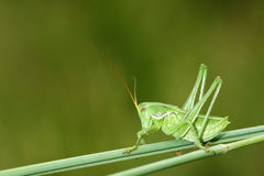 Wingless longhorned grasshopper. The close-up of green wingless longhorned grasshopper Stock Image