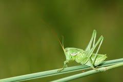 Wingless longhorned grasshopper Stock Image