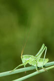 Wingless longhorned grasshopper. The close-up of green wingless longhorned grasshopper Royalty Free Stock Image