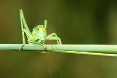 Wingless longhorned grasshopper. The close-up of green wingless longhorned grasshopper Stock Photo