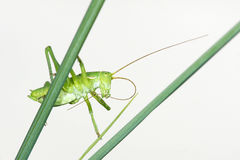 Wingless longhorned grasshopper Royalty Free Stock Photos