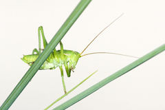 Wingless longhorned grasshopper. The close-up of green wingless longhorned grasshopper on grass Stock Photography