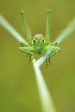 Wingless longhorned grasshopper. The front close-up of green wingless longhorned grasshopper Royalty Free Stock Photography