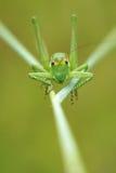Wingless longhorned grasshopper Royalty Free Stock Photography