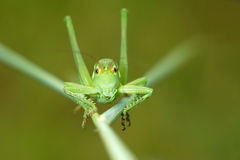 Wingless longhorned grasshopper Royalty Free Stock Images