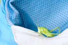 Wingless longhorned grasshopper. A green wingless longhorned grasshopper on blue backpack Royalty Free Stock Image