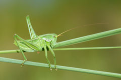 Wingless longhorned grasshopper. The side close-up of green wingless longhorned grasshopper Stock Photo