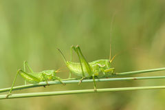 Wingless longhorned grasshopper. The two green wingless longhorned grasshoppers on grass Royalty Free Stock Photos