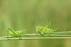 Wingless longhorned grasshopper. The two green wingless longhorned grasshoppers look at each other on grass Royalty Free Stock Images