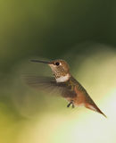 Wings. Black Chinned Humming bird Stock Images