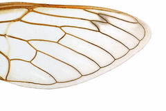 Wings. Close up view of an insect wing on white Stock Photo