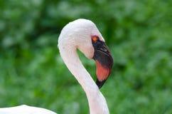 Wings, beak, closeup, color, flamingo, Caribbean flamingo, nature, eye, feathers, feathers, pink orange, bird Royalty Free Stock Image