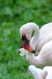 Wings, beak, closeup, color, flamingo, Caribbean flamingo, nature, eye, feathers, feathers, pink orange, bird Royalty Free Stock Photo