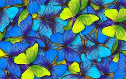 Wings of a butterfly Morpho. Flight of bright blue and yellow butterflies abstract background. stock image