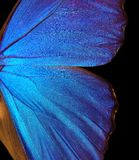 Wings of a butterfly Morpho texture background. Wing structure of beautiful butterfly. Closeup Morpho butterfly Royalty Free Stock Images