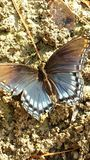 Wings. Butterfly open wings resting sitting ground sand Stock Photos