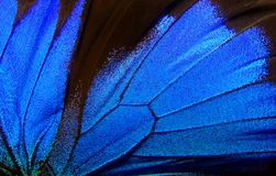 Wings of the butterfly Ulysses. Closeup. Wings of a butterfly texture background Royalty Free Stock Photo