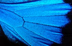 Wings of the butterfly Ulysses. Closeup. Wings of a butterfly texture background Royalty Free Stock Images
