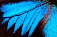 Wings of the butterfly Ulysses. Closeup. Wings of a butterfly texture background Royalty Free Stock Photography