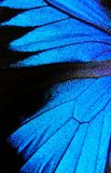 Wings of the butterfly Ulysses. Closeup. Wings of a butterfly texture background Royalty Free Stock Image